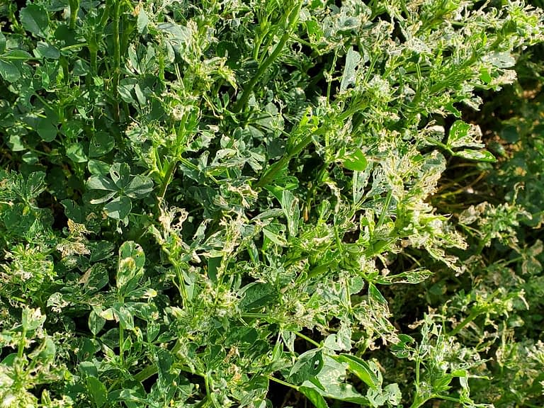 Increased activity and damage from alfalfa weevils.