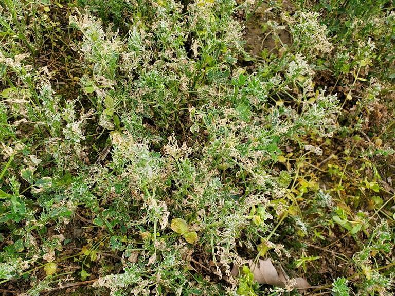 Severe top canopy skeletonization of alfalfa plant.